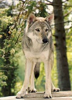 saarloos wolfhond, this is the dog I'ld like