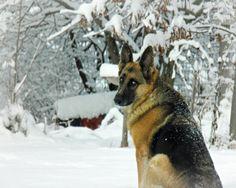 German Shepherd photography,dog photograph,beautiful eyes,winter,snow,german shepherd on snow background,dog lovers gift,dog portrait,snowy, on Etsy, $8.00