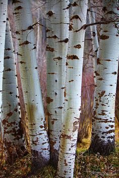 Aspen ~ love colorado aspens!
