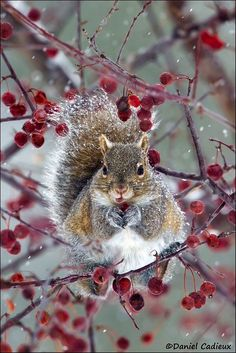 (WN) Eastern Grey Squirrel Enjoying Berries by Daniel Cadieux on Nature Animals, Animals And Pets, Baby Animals, Cute Animals, Wild Animals, Cute Squirrel, Baby Squirrel, Squirrels, Beautiful Creatures