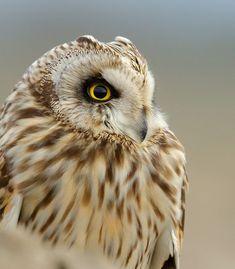 Short Eared Owl, Bird, Animals, Steel, Animales, Animaux, Birds, Animal, Animais