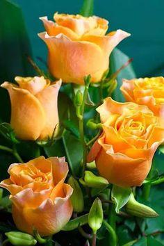 Yellow  Roses                                                                                                                                                                                 Mehr