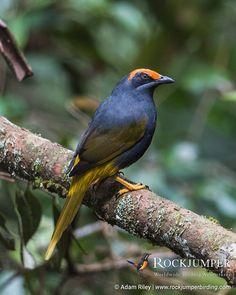Fiery-browed Starling (Enodes erythrophris)