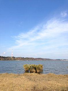 Lake Sanaru, Hamamatsu-city, Japan.   佐鳴湖の葦刈り  Cutting reeds Lake Sanaru