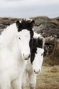 Icelandic foals  http://www.islandcowgirl.com
