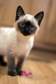 Siamese kitten!