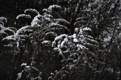 bwstock.photography  //  #forest #herbs Black White Photos, Black And White, Free Black, Dandelion, Herbs, Nature, Flowers, Plants, Photography