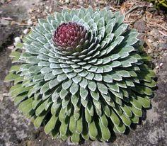 Saxifraga longifolia - photo © Susan Korthof -  Summer-flowering alpine. Grow in full sun in well-drained alkaline soil.