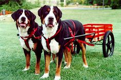 Greater Swiss Mountain Dogs and drafting.