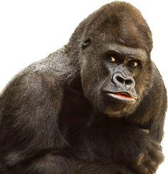 Isolado, Branco, Gorila, Macaco, Primaz, Vida Selvagem