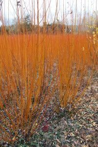 osier orangé (Salix viminalis). In French. I can't decipher it. But great pictures!