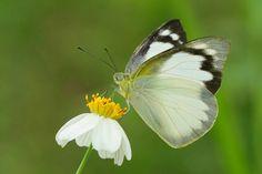 Appias albina