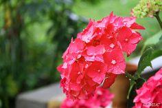 Jour de pluie - Rainy Day #jm2Jc #summer #flowers #nature #ete #photooftheday