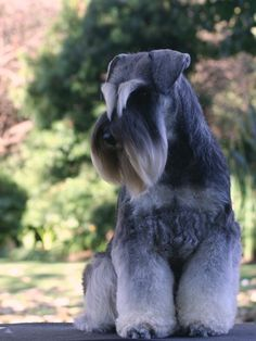 All I love about Schnauzers. Schnauzer Grooming, Schnauzer Puppy, Miniature Schnauzer, Schnauzers, Dog Grooming, Pet Dogs, Dogs And Puppies, Dog Cat, Doggies
