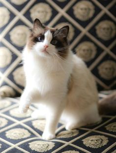 What a beautiful Sealpoint Bicolor Ragdoll, I imagine my future girl to look just like this!