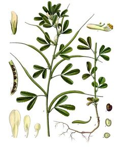 Fenugreek I Herbs I Plant lore Herbal Plants, Medicinal Plants, Natural Herbs, Natural Healing, Natural Medicine, Herbal Medicine, Herbal Remedies, Natural Remedies, Herbs For Health