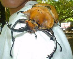 でかすぎ御免、コスタリカの巨大カブトムシ:カラパイア