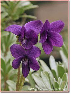Viola odorata 'Clive Groves'
