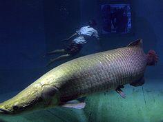 Megafishes Photos, Megafish Wallpapers, Download, Photos -- National Geographic#/arapaima-diver_214_600x450.jpg#/arapaima-diver_214_600x450.jpg