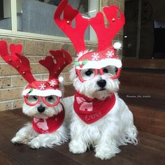 """763 Me gusta, 32 comentarios - Emma & Eve❤️ (@emma_the_westie) en Instagram: """"Yep it's that time of year where our Christmas clothing and accessories come out, and mum has so…"""""""