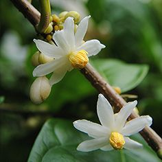 Caloncabo echinata... beautiful and powerful enough to treat leprosy! | Flickr - Photo Sharing!