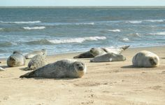 Seals on Horsey Beach, Norfolk (nr Winterton-on-Sea). Will be walking on the beach tomorrow for some post-Christmas exercise. Great Places, Places Ive Been, Suffolk Coast, Norwich Norfolk, South East England, British Wildlife, Travel England, England And Scotland, Beach Walk