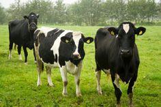 """Dopo polli, uova e maiali, da Coop arrivano i primi prodotti bovini da allevamenti senza uso di antibiotici. Continua la campagna """"Alleviamo la salute"""""""