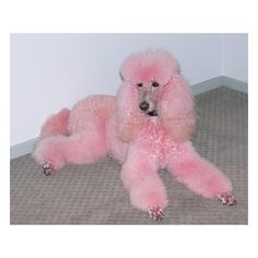 Pink-tristing / Pink Poodle...lol ❤ liked on Polyvore featuring dog and pink