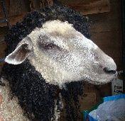 shera princess of power. wensleydale ewe for locks. albany area - yellowfarm.us
