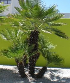 Mediterranean Palm is lovely tropical plant that requires minimum care, making it ideal around pool
