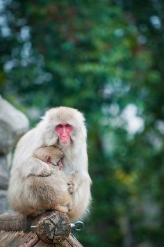 Japanese Snow Monkeys | zoohiko@Flickr