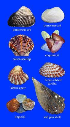 Sancapstar Shell Guide Page 1 Sanibel Island, FL Seashell Art, Seashell Crafts, Beach Crafts, Starfish, Seashell Decorations, Seashell Jewelry, Wire Jewelry, Seashell Identification, Seashell Projects
