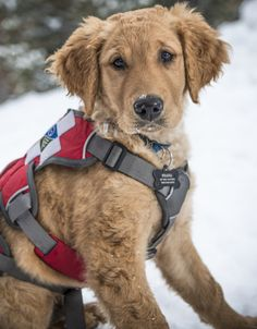 Plus, he's downright adorable!   Shaka The Golden Retriever Pup Is Out To Rescue Your Heart