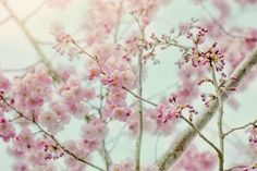 Cherry Blossom by Jacky Parker on 500px