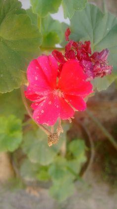Flor de Malva Rosa, ou Giranio.