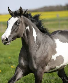 Corinne Eisele added a new photo. American Paint Horse, American Quarter Horse, Beautiful Horse Pictures, Most Beautiful Horses, All The Pretty Horses, Grulla Horse, Appaloosa Horses, Palomino, Cheval Pie