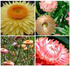 100 Seeds Bright And Translucent In Appearance Winged Everlasting Ammobium Alatum Grandiflorum