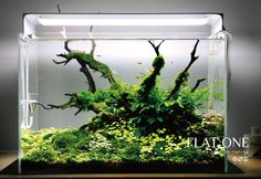 "simonsaquascapeblog: ""Favourites: tank by Flat One A part from the cool light system, I really like how the hydrocotyle is descending from the elevated area, leaving touches of light yellow, like if..."
