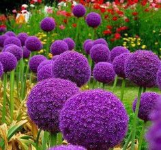 Allium is the genus of onions, garlic, leeks and chives. The aroma is characteristic of the whole race but not all members have that strong flavor.   ~Argentina society of horticulture