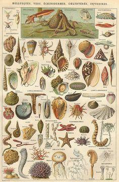planche mollusques by pilllpat (agence eureka), via Flickr