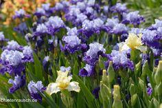 Eine der ersten Sommerblumen ist die winterharte und pflegeleichte Bart-Iris. Die Schwertlilie verjüngen Sie, indem Sie sie alle 4-5 Jahre am Rhizom teilen.