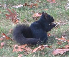 The black squirrel is a melanistic variety of the eastern gray squirrel . Black squirrels have one or two copies of a mutant pigment gene.