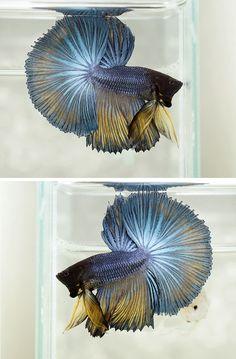 Blue mustard metallic betta fish