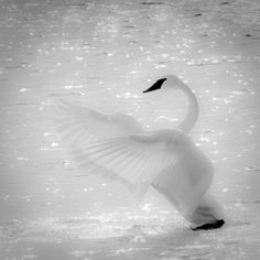 Trumpeter swan ~ taken by Philip Dunn   Recovering population in Michigan after being endangered.  They still succomb to lead poisoning by feeding in the much in wetlands and ingesting lead shot.