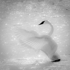 Trumpeter swan ~ taken by Philip Dunn #photography #nature #bird #swan #bokeh