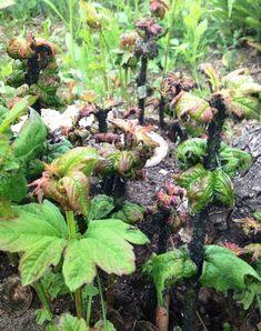 cum scapi de afide (1) Home And Garden, Fruit, Nature, Gardening, Oita, Colorado, Solar, Crochet, House