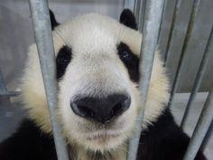 Panda's Dream, Panda Bear, Cute, Instagram, Kawaii, Panda, Pandas