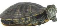 Yellow Belly Slider turtle - i miss ours but not the smell of the aquarium