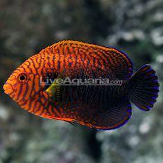 Potter's Angelfish (Centropyge potteri)