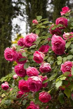 These types of roses hang beautifully on pergolas, arbors, trellises and other structures. Flip through this photo gallery from HGTV Gardens to find your favorite.